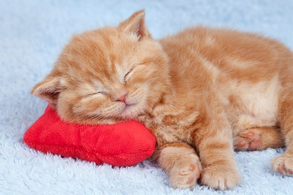Kitten sleeping on cleaned carpet after urine removal.